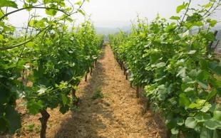 Po štirih količinsko skromnejših letih primorske vinogradnike letos navdušila kakovost