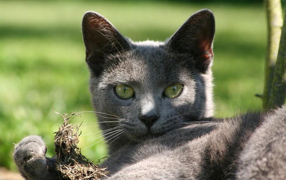 Simbolni pomen svetlo sive mačke: Znak nedolžnosti in otroštva! (foto: profimedia)