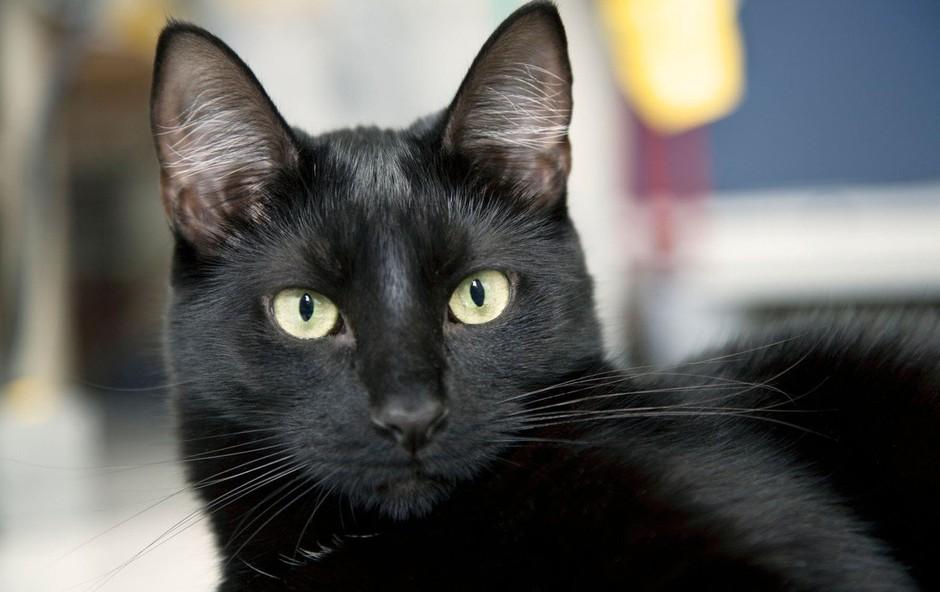 Simbolni pomen črne mačke: Znak zaščite in ustvarjalnosti! (foto: profimedia)