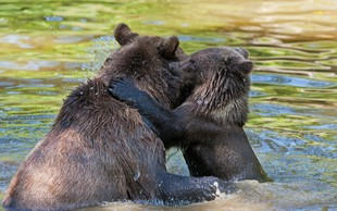 Hrvaška: Lovec se je spopadel z medvedko, s katero je bil mladiček