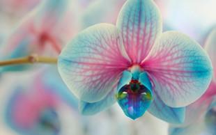 Nina Kasandra Klun o kitajskem novem letu in srečnih rastlinah