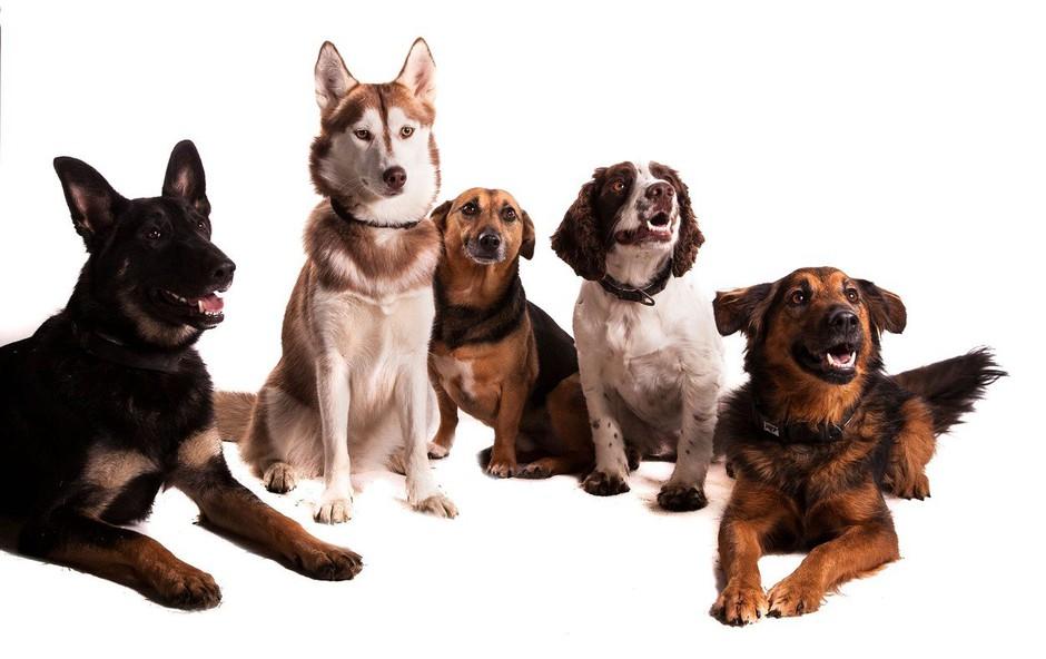 Inteligentnosti psa ne moremo oceniti zgolj po velikosti možganov (foto: profimedia)