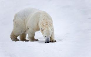 Izredne razmere zaradi invazije severnih medvedov v arhipelagu Nova zemlja