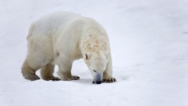 Izredne razmere zaradi invazije severnih medvedov v arhipelagu Nova zemlja (foto: profimedia)