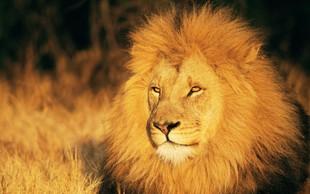 Razlaga sanj: Lev je znamenje moči in poguma!