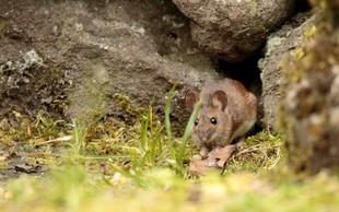 Za mišjo mrzlico v Sloveniji letos zbolelo 94 oseb
