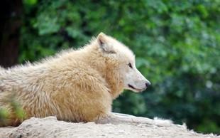 V Sibiriji so našli skoraj nedotaknjeno 32.000 let staro glavo volka