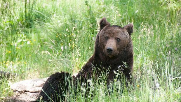 Vrh nad Želimljami: Medvedka napadla starejšo žensko (foto: profimedia)