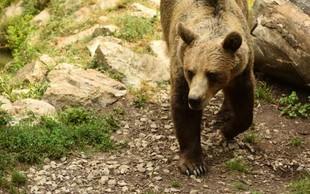 Odstrel medvedke z mladiči preprečujejo tudi aktivisti