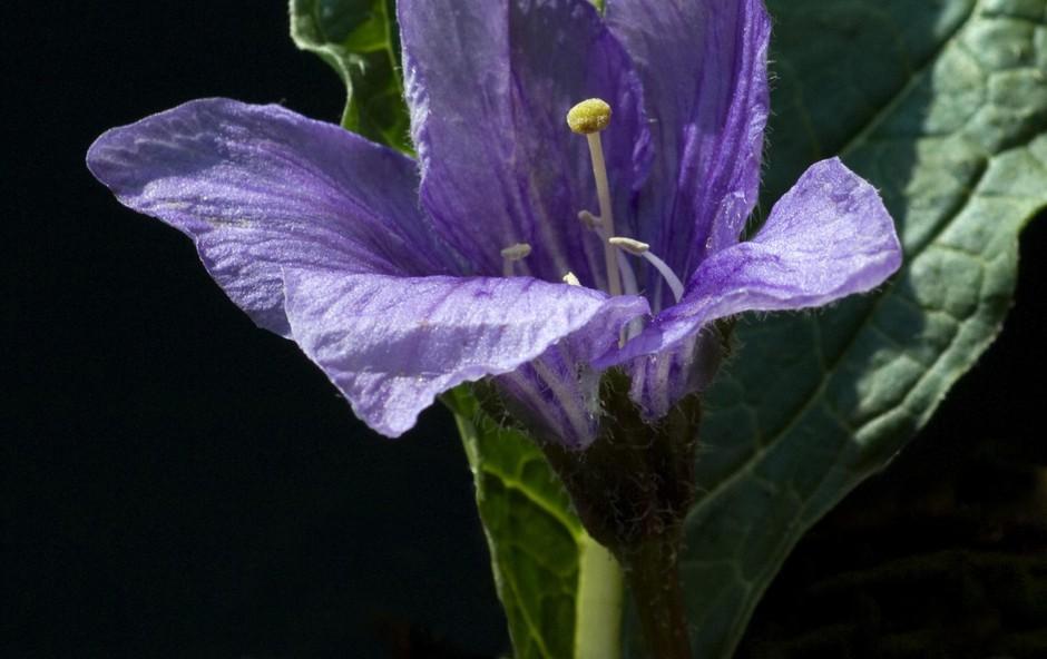 Mandragora - mogočna čarovniška rastlina (foto: Shutterstock)