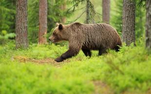 V Italiji že pet dni iščejo iz zavetišča pobeglega medveda slovenskega porekla