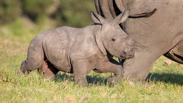 V Indiji zaradi poplave poginilo najmanj 12 nosorogov ogrožene vrste (foto: profimedia)