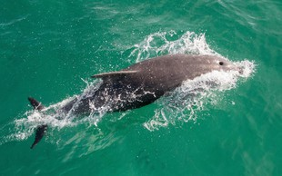 Dan delfinov v Piranu