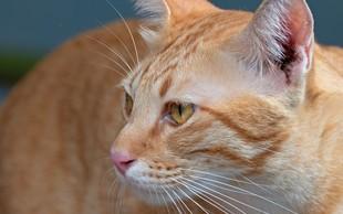 Mačka v kostariški zapor skušala pretihotapiti dva mobilna telefona