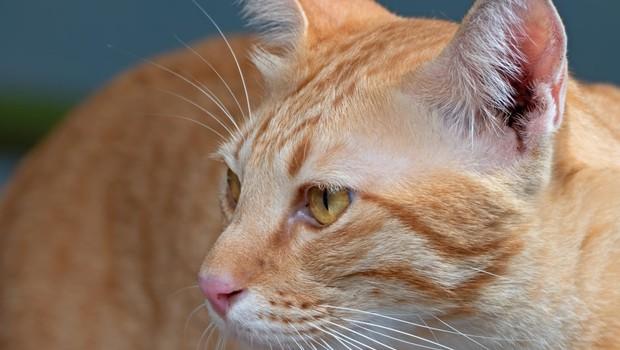 Mačka v kostariški zapor skušala pretihotapiti dva mobilna telefona (foto: profimedia)